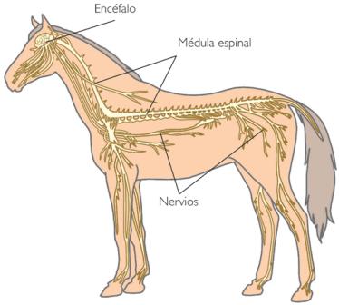 nervios1a